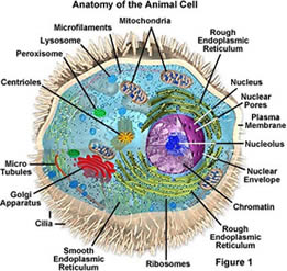 Picture of an animal cell
